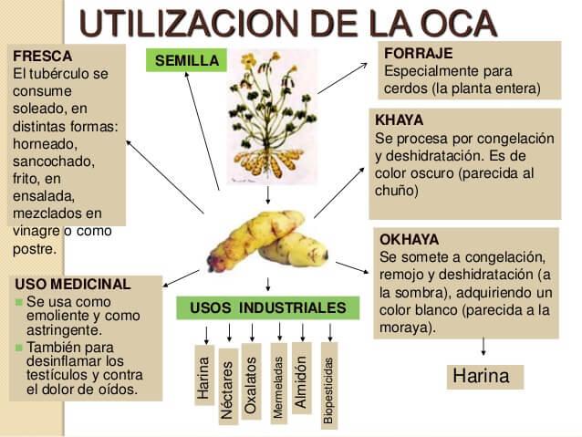 Usos or use Papa Oca tuber or ibia tuberculo