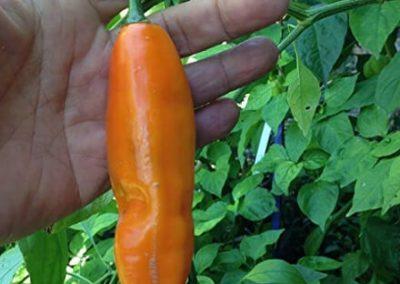 Aji Amarillo peruvian chili 4