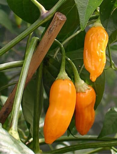 Aji Amarillo peruvian chili 5