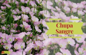 ChupaSangre Oenothera Rosea
