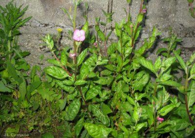 ChupaSangre Oenothera Rosea 4