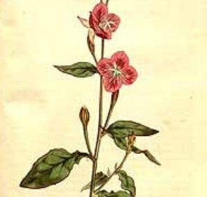 ChupaSangre Oenothera Rosea 5