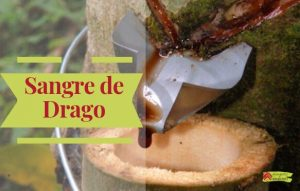 Sangre de Drago Propiedades, beneficios, imágenes, recomendaciones, contraindicaciones.