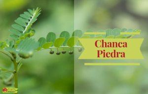 ChancaPiedra Phyllanthus niruri