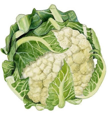 Coliflor Brassica oleracea var. botrytis 1