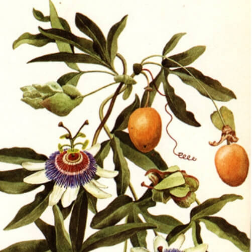 Granadilla Passiflora ligularis 1