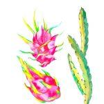 pitahaya pitaya Hylocereus undatus 1
