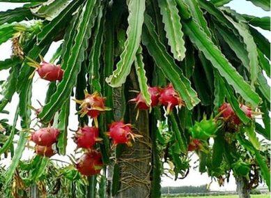 pitahaya pitaya Hylocereus undatus 5