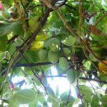 planta tumbo curuba 2 (1) (1)