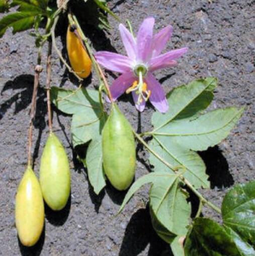 planta tumbo curuba 4 (1) (1)