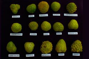 tipos de chirimoya