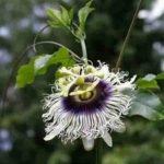 flor del maracuya
