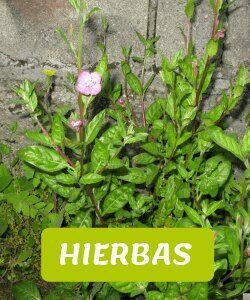 hierbas andinas