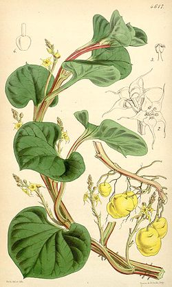 planta ulluco