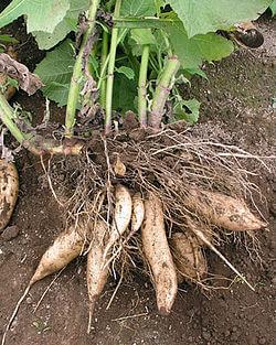 Yacon planta alimento andino