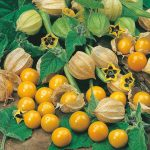 aguaymanto golden berry