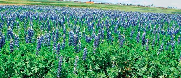 Tarwi planta cultivo alimentos andinos orgánicos