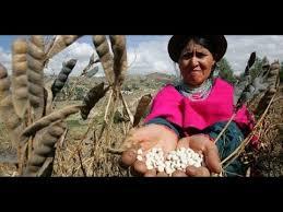cosecha Tarwi o Altramuz o andean Lupino andino