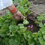 olluco or melloco plant