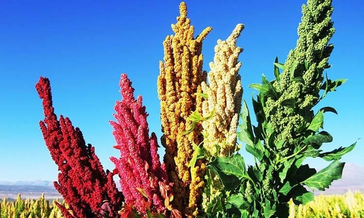 Cañihua , Kañiwa o canigua planta 1
